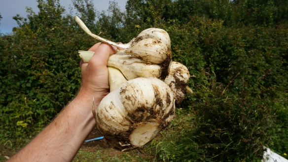 Gigantic Garlic! It's just regular old garlic, but apparently when the soil it is planted in is kept loose, it will grow this big!