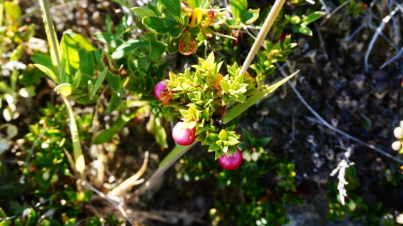 There are many edible berries growing in TDP. Here is a picture of one kind. I don't know the name of it, but it is a pinkish, fat little berry. We saw a ranger eating them and he told us they were ok! Apparently the same berries grow in Russia, according to some Russian hikers we met.